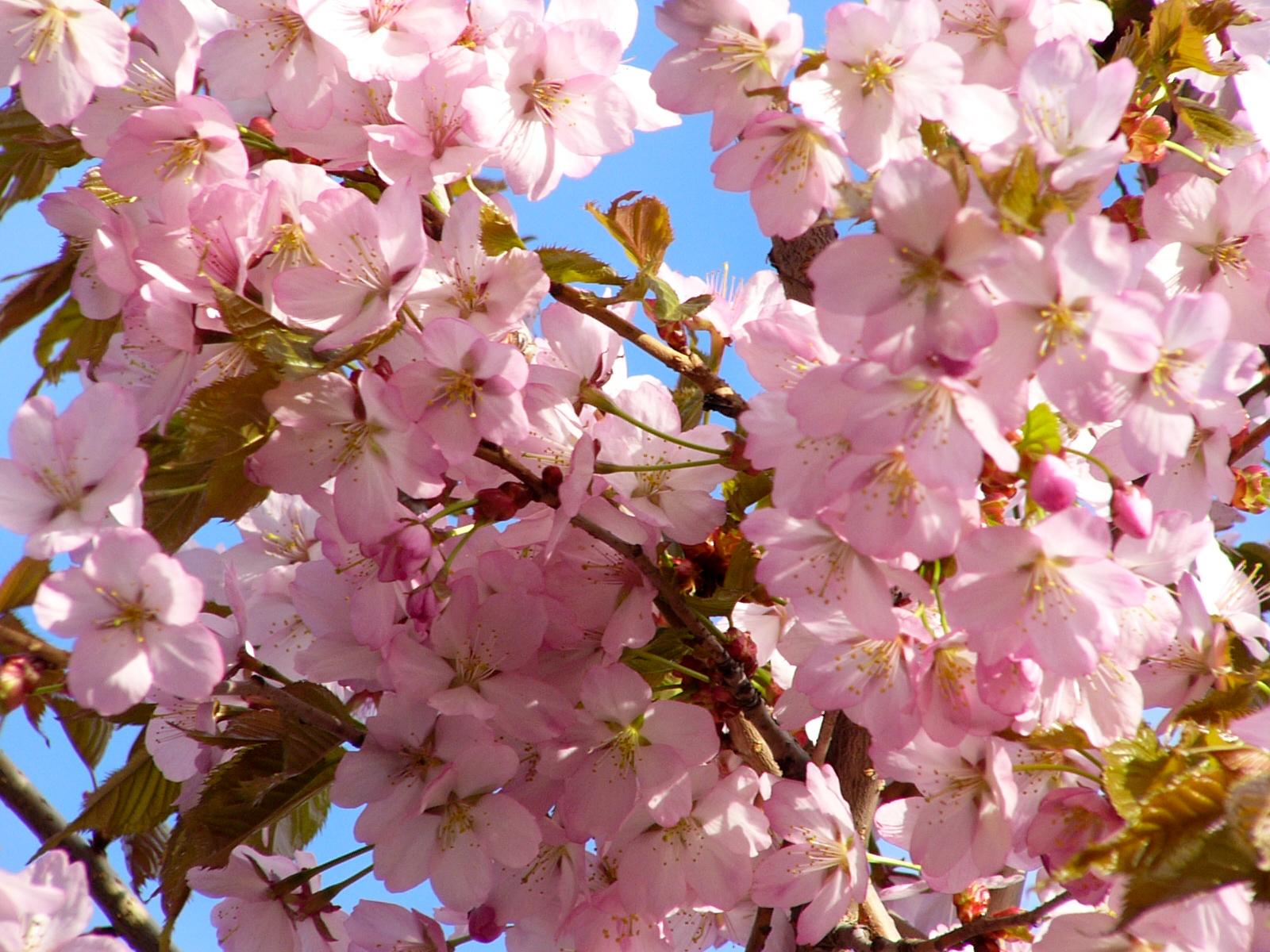 Kirsikkapuu Kukinta