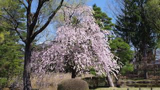 多くは無いものの日本庭園に咲く桜は見応えがある