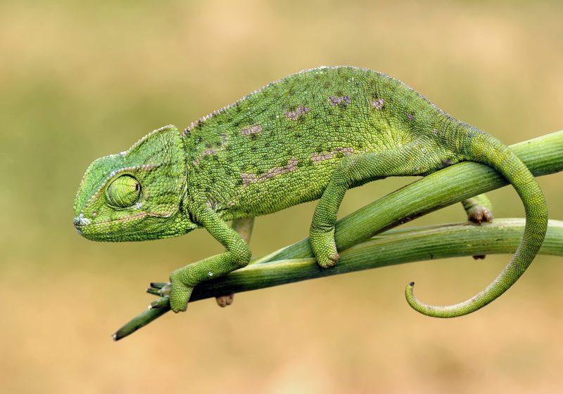 camaleon comun