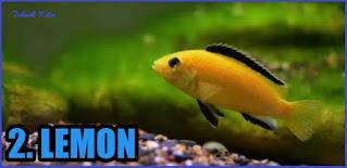 Jenis Ikan Cichild yang bisa dicampur