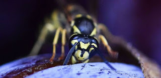 Stop wasting the wasps, they are as useful as the bees