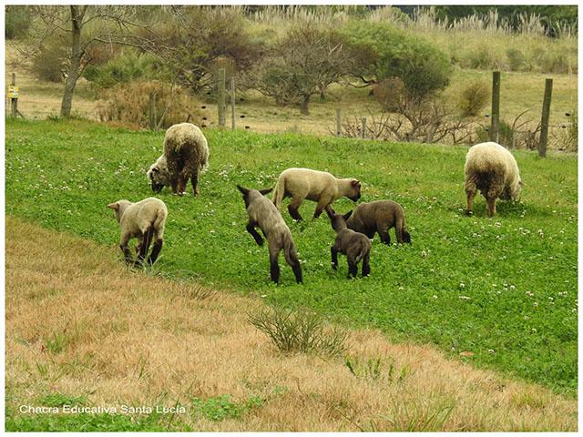 Corderos y ovejas en el campo- Chacra Educativa Santa Lucía
