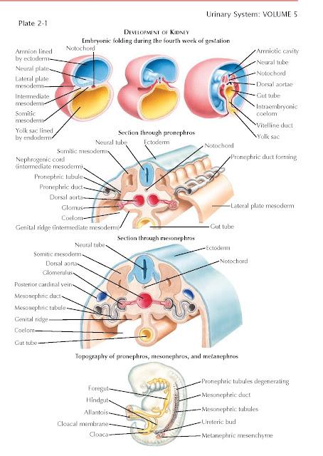 Development Of Kidney, Pronephros, Mesonephros, Metanephros,