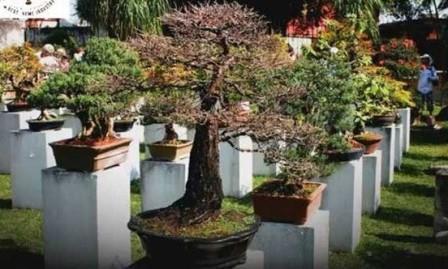 Cara Budidaya Tanaman Hias Bonsai