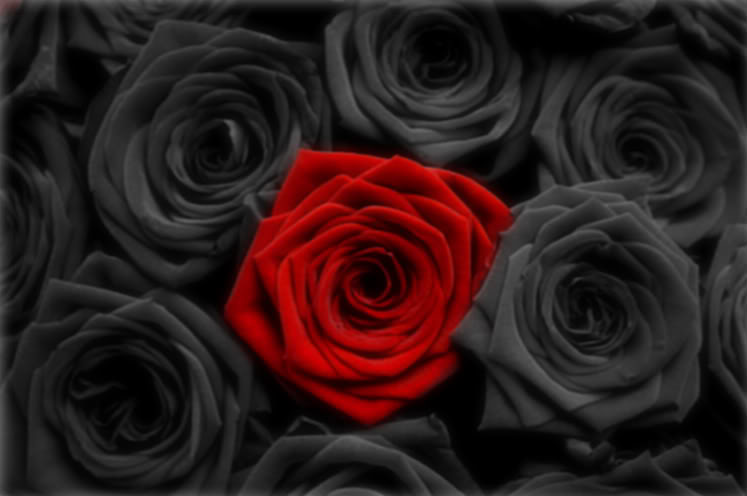 Black Rose Meaning 97