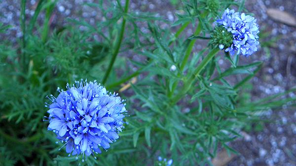Blue pom pom looking plants with bright serrated foliage