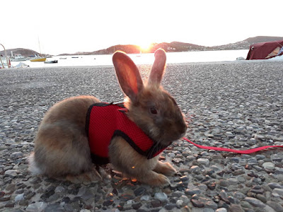 rabbit with a leash