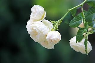 Mawar Mega Putih