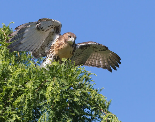 Tompkins Square red-tail fledgling 06