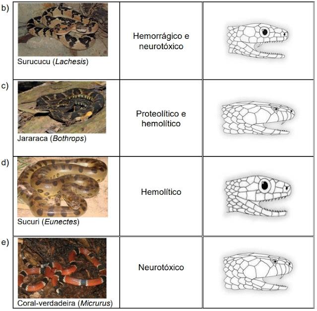 Considerando a velocidade da resposta em relação ao tipo de ação da peçonha e à dentição proteróglifa para a sua inoculação, qual das serpentes encontradas no Brasil pode ser comparada à Naja?