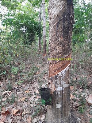 https://www.kangkaret.com/2019/12/penyebab-kulit-pohon-karet-keras-saat.html