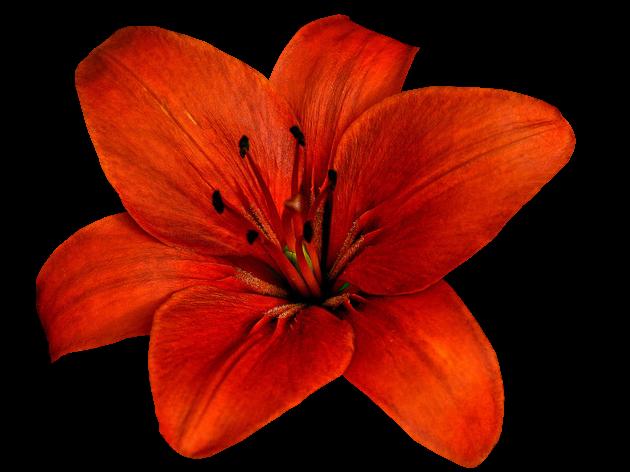 Flores Vectoriales Con Fondo Transparente: Rosas Con Fondo Transparente