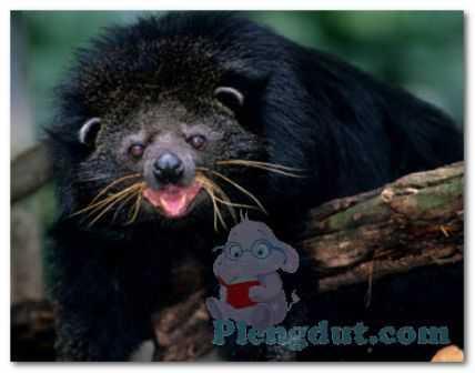 Berwajah mirip beruang dan bertubuh serta berekor mirip kucing merupakan alasan binturung disebut sebagai bearcat