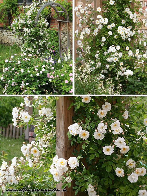 Weißer Garten elfenrosengarten mein weißer garten
