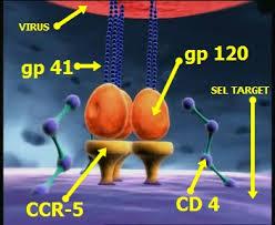 virus HIV hanya menginveksi sel T limfosit karena kesesuaian reseptornya