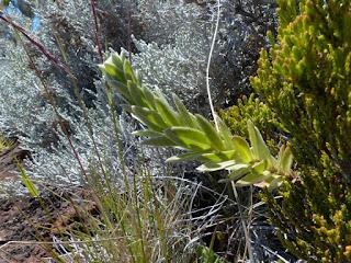 Ambaville bâtard - Phylica nitida - Ambaville blanche