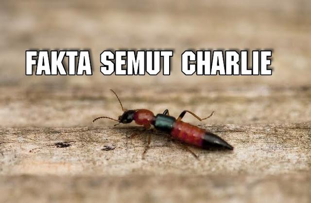 Inilah 4 Fakta Tentang Semut Charlie dan solusinya