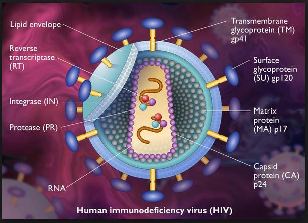 a1402dd4c30 Así, el DNA celular del linfocito T es bloqueado por el genoma viral. Se  presenta un período de multiplicación mínima del virus VIH, la cual es  frenada en ...