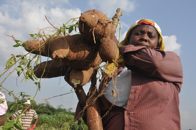 Land matters for women in Sierra Leone Africa growing cassava