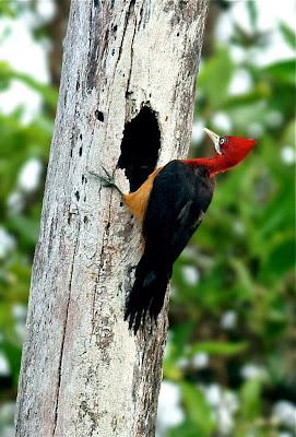 Picamaderos cuello rojo Campephilus rubricollis