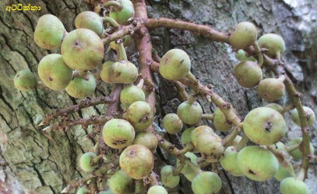 අට්ටික්කා [Attikka] (Ficus Racemosa) - Your Choice Way