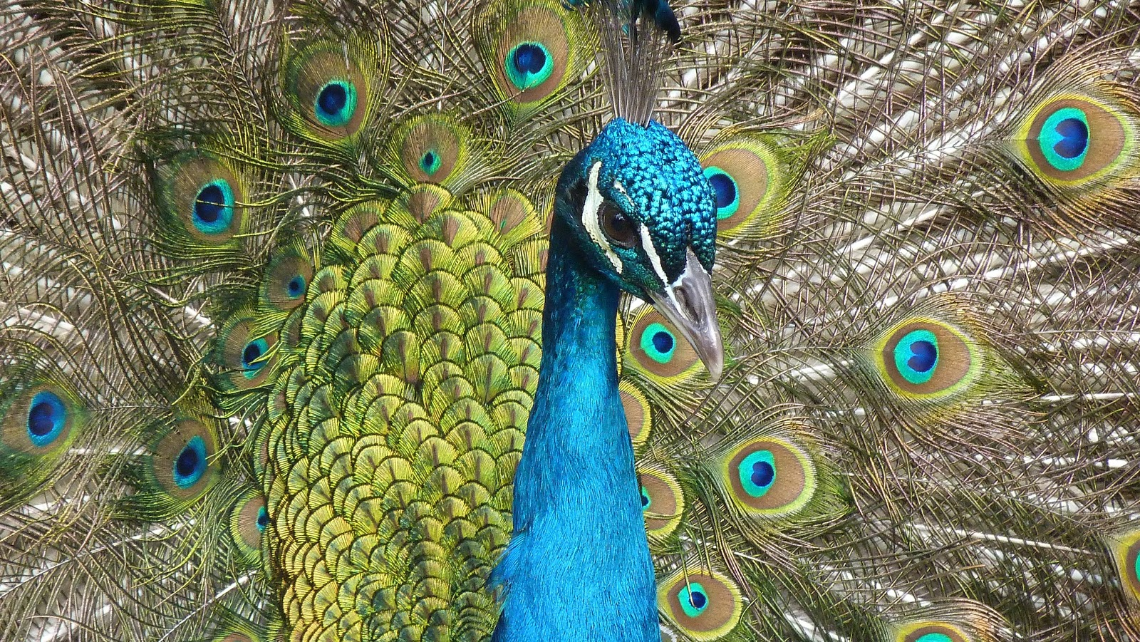 blue-peacock-pictures