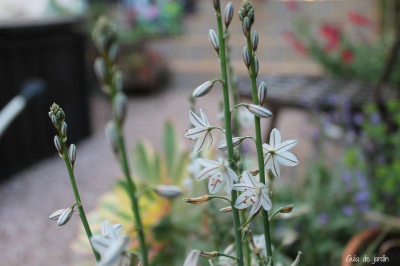 Flores de gamoncillo silvestre