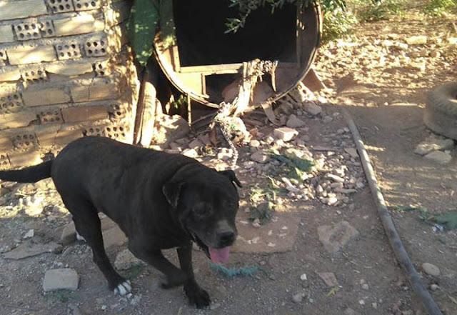 La pitbull que pasa 4 años amarrada a un bidón mohoso