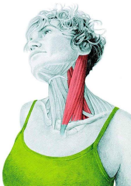 daftar otot di kepala dan leher manusia