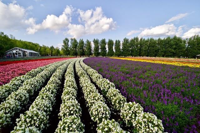 Get lost in the fields of flowers like in Europe in Japan