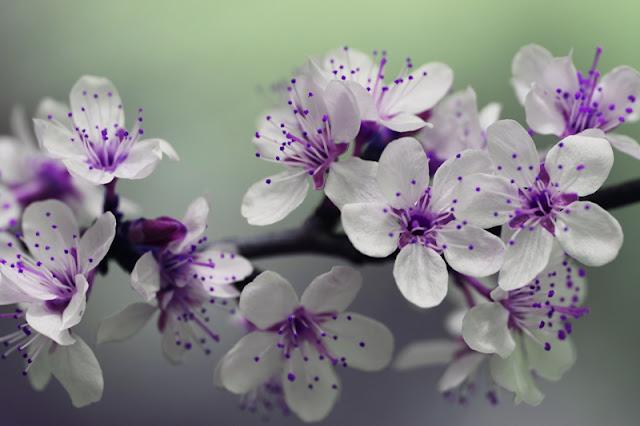 bunga, putih, ungu, cantik