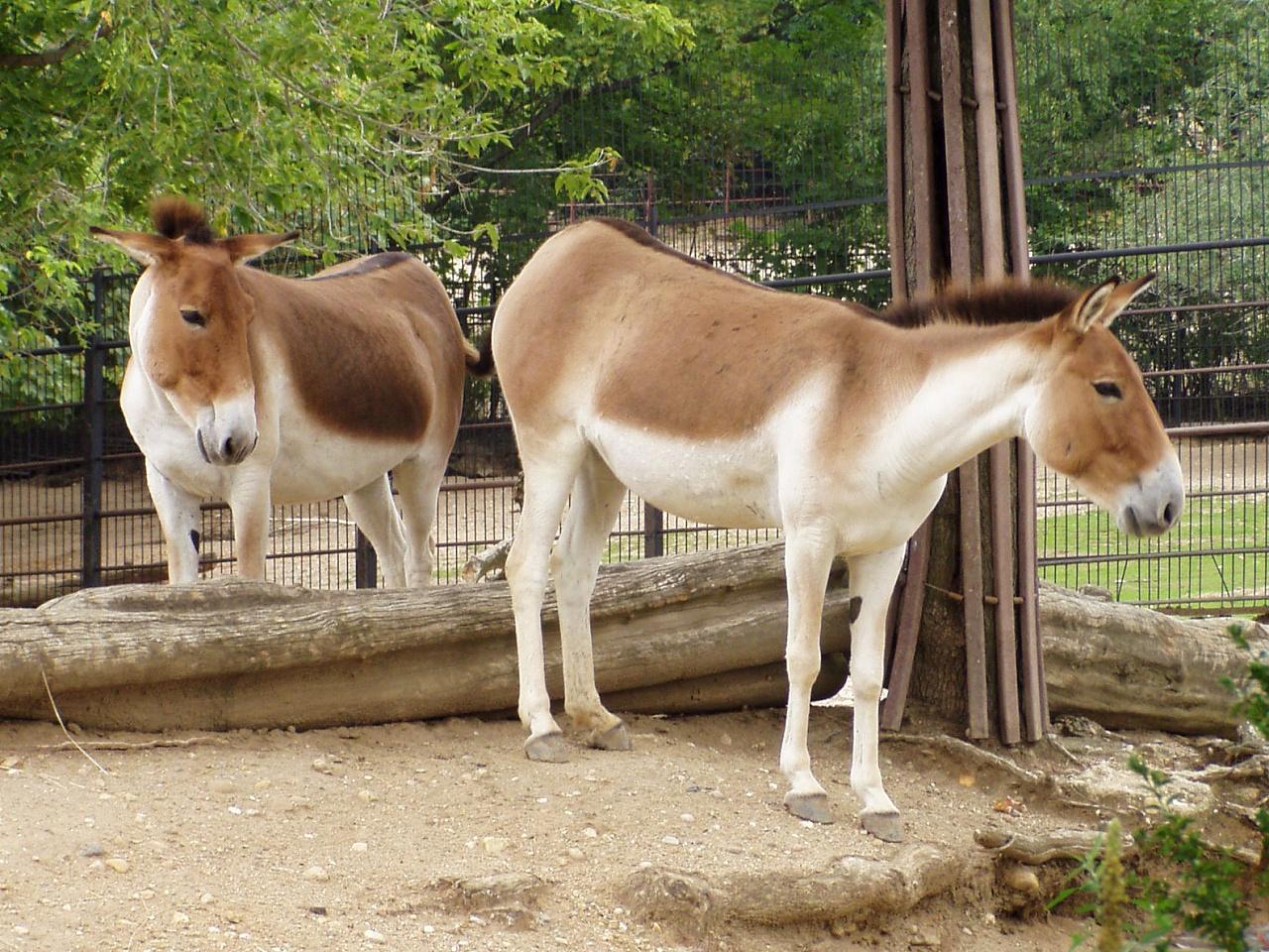 Kiang | The Life of Animals