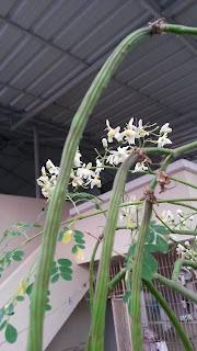 Drumstick vegetable flowers closeup