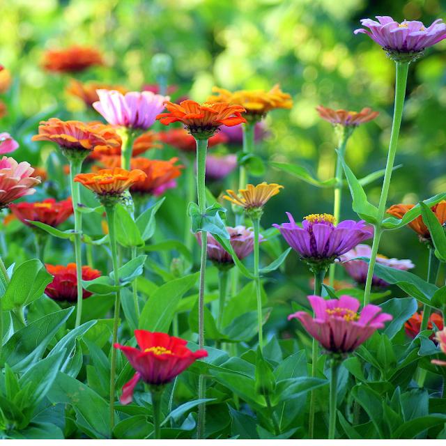 Zinnia's in the flower garden
