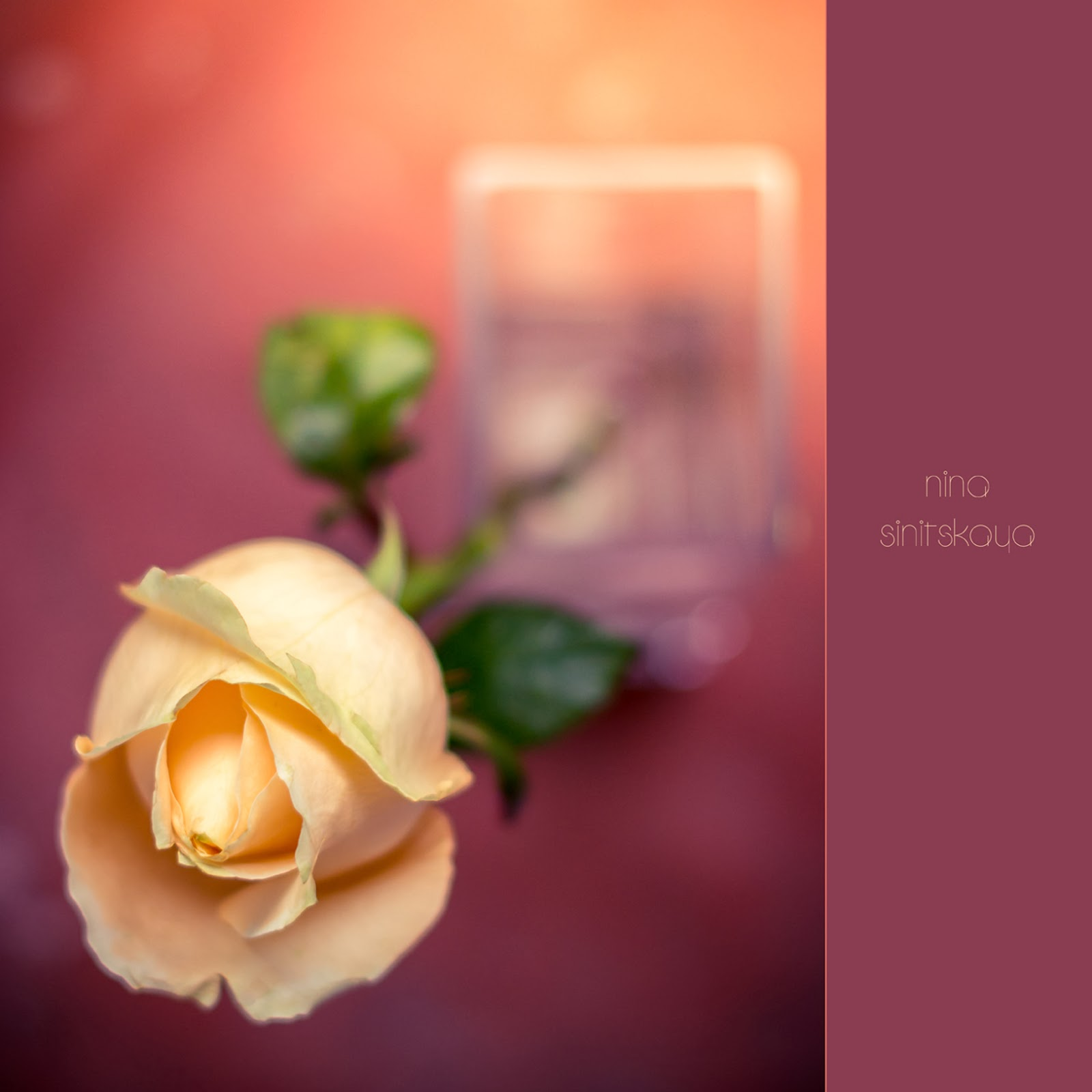Floral Photography. Soft and hazy image of the peach rose