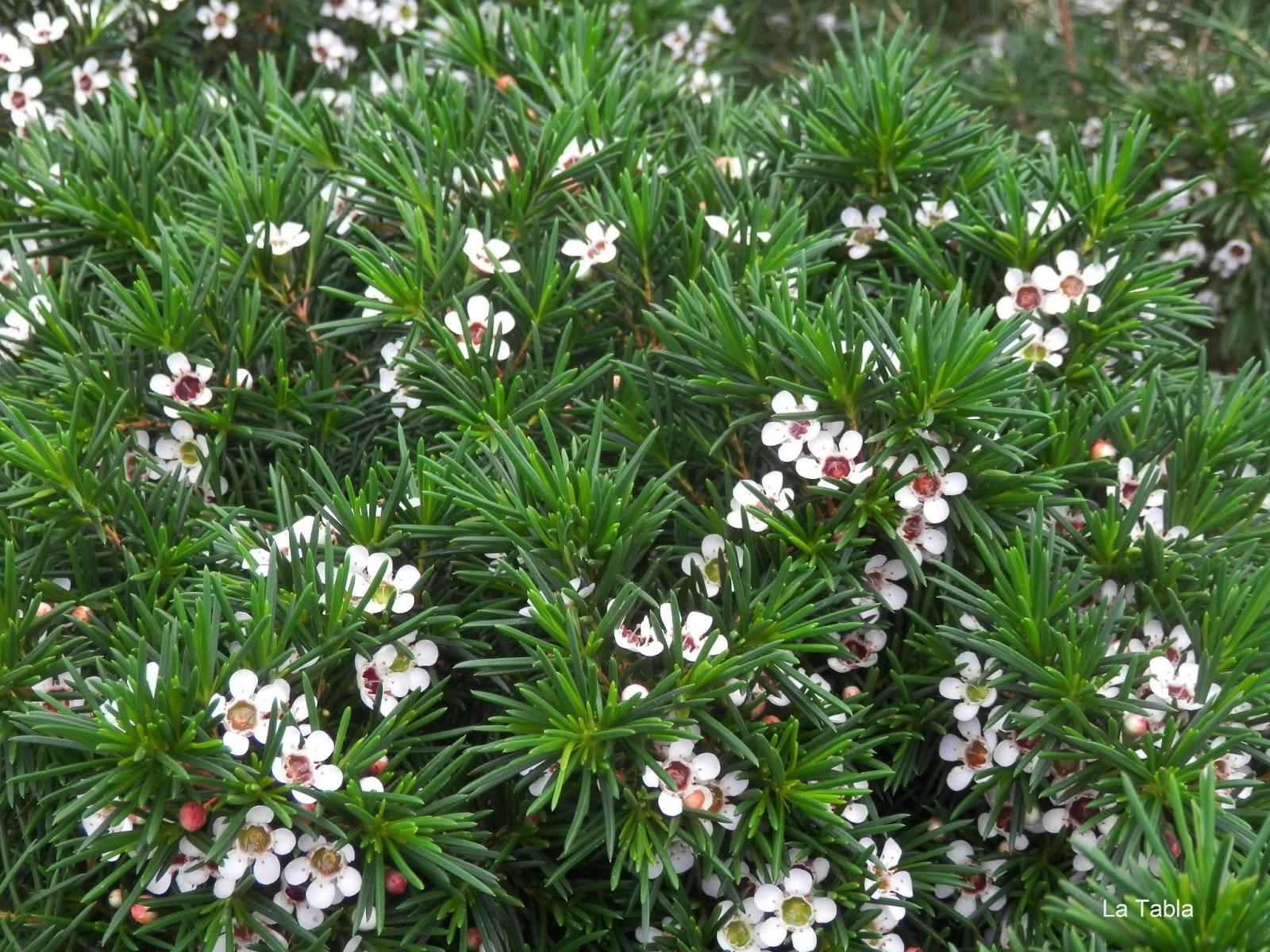 Como una flor de cera chamelaucium uncinatum for Arbustos con flores