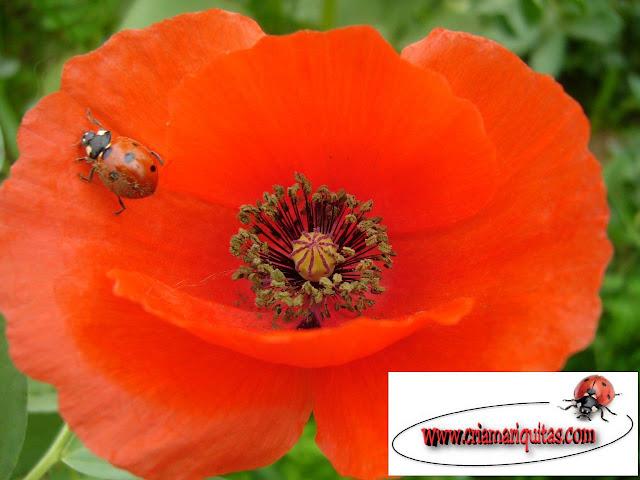 mariquita-siete-puntos-flor