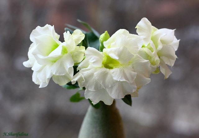 Adenium obesum cv. Happy