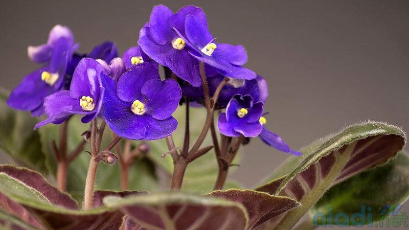 jenis tanaman hias african violets bunga violces