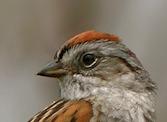 Swamp Sparrow head