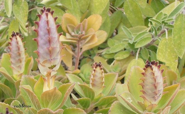 Orégano francés Plectranthus amboinicus