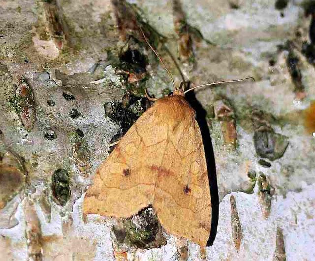 Gelbe Blatteule, Enargia paleacea