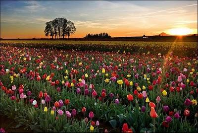 """شهر مايو في هولندا """" موسم حصاد زهور التوليب """" جنة على الأرض"""