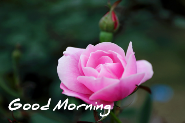Good morning rose festival
