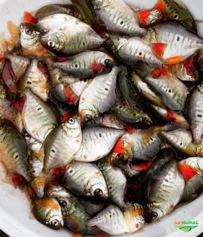 Harga Supplier Jual Ikan Bawal Bibit & Konsumsi di Palu, Sulawesi Tengah