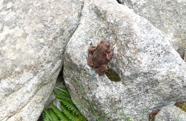rospo lungo il sentiero monte capanne