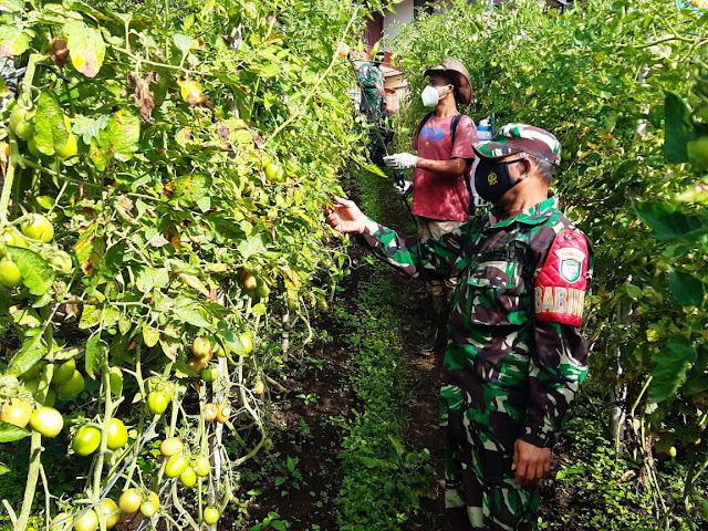 Babinsa Koramil 02 Bebesen  Kodim 0106Aceh Tengah Bantu Petani Semprot Hama Tomat