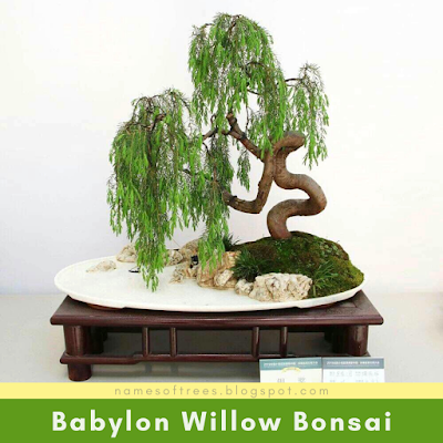 Babylon Willow Bonsai