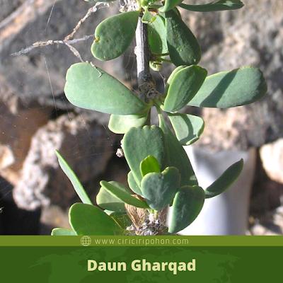 Daun Gharqad