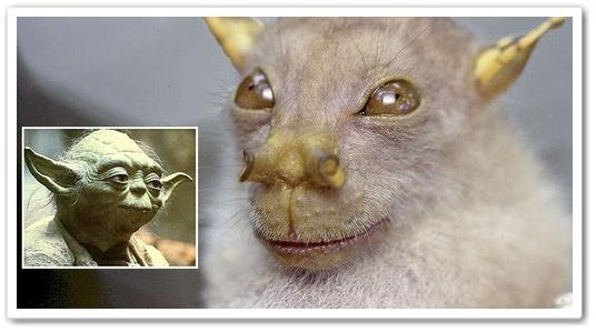 Kelawar Yoda